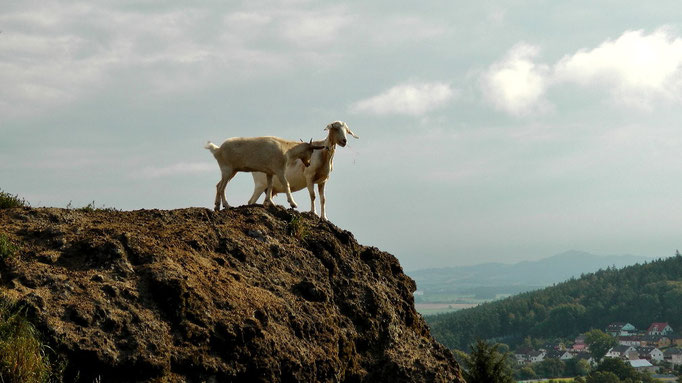 """Bergziegen auf dem """"Kleiner Kulm"""""""