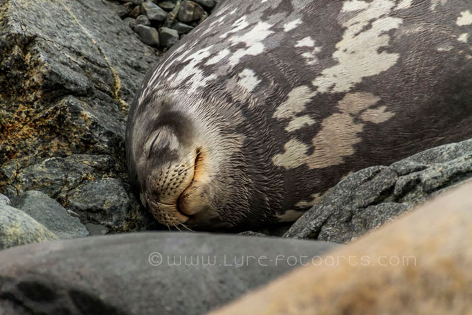 Horseshoe Island, Weddell-Robbe