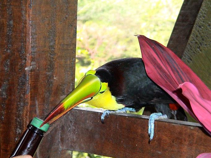 Regenbogentucan auf Besuch beim Mittagessen