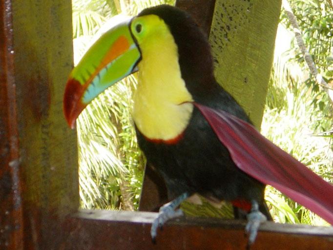 Regenbogentucan im Regenwald bei Boca San Carlos