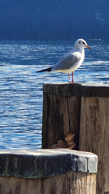Seagull, Weggis