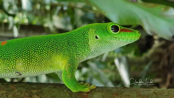 Gecko, Zoo ZH, 2020