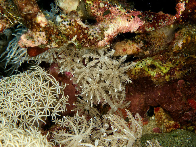 Softcorals