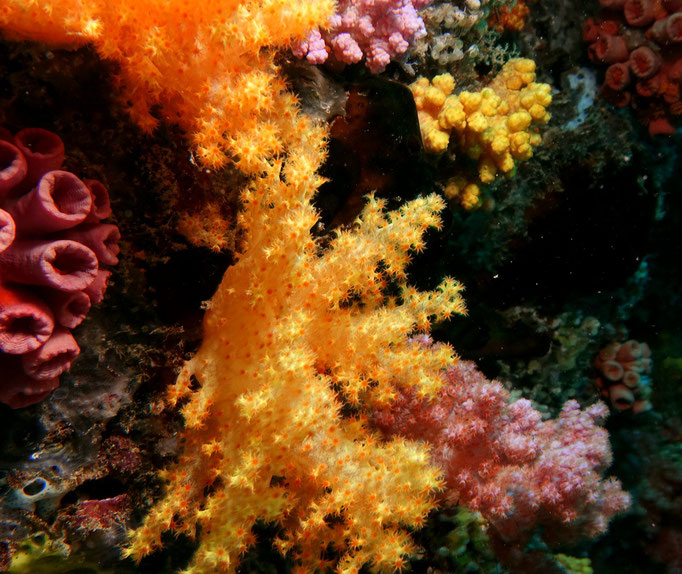 Softcoral