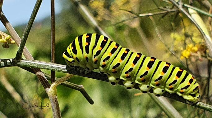 Schon als Raupe wundervoll...das wird ein Schwalbenschwanz-Schmetterling, Kloster Fahr, 2020