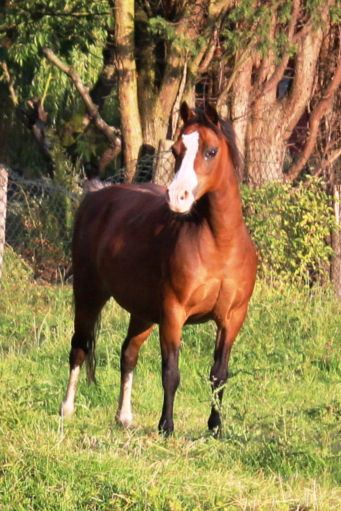 Vechtzicht's Cascade, our foundation mare, dob 1998 retired