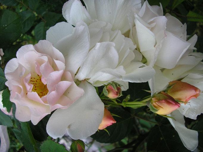 Des roses...