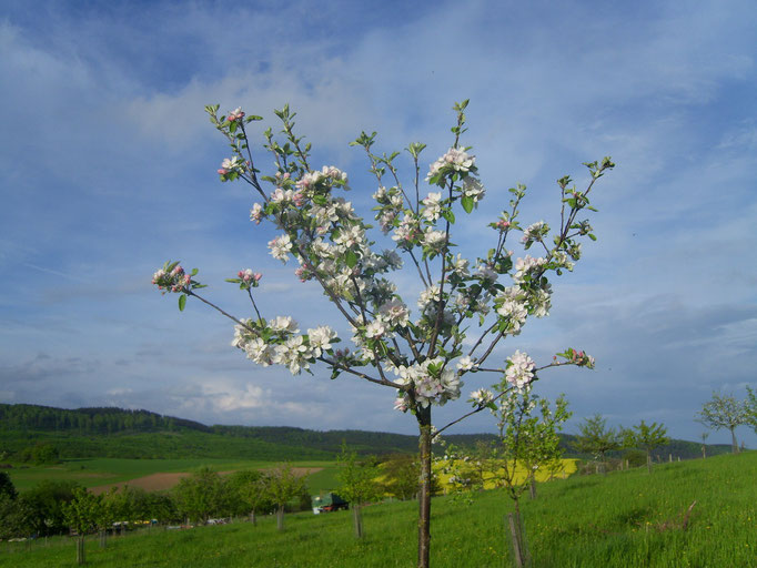 Junger Obstbaum auf unserer Streuobst-Wiese