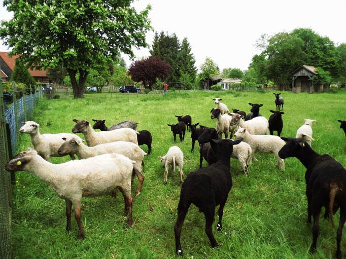 unsere Schafherde mit Nachzucht