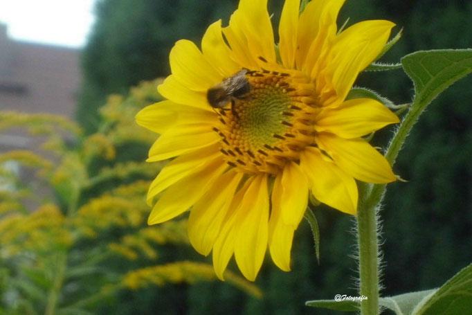 Sonnenblume/Gartenaufnahme/Blumen&Pflanzen