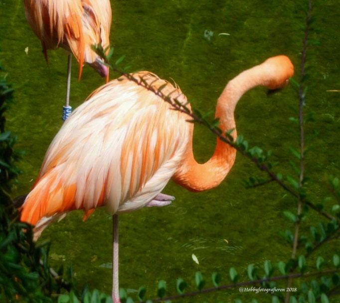 Tiere/Flamingo/Aufnahme unterwegs