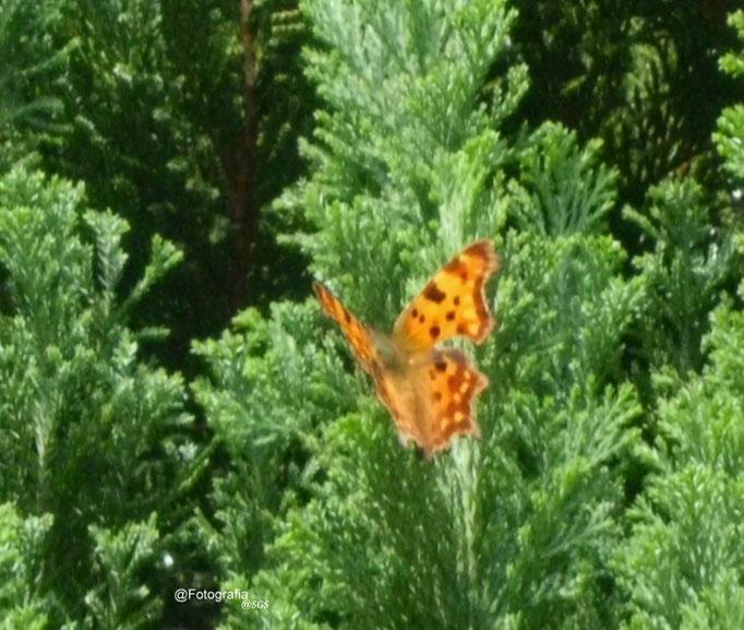 Kaisermantel/Aufnahme im Garten