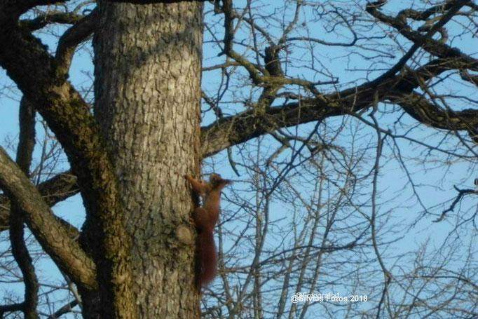 Eichhörnchen am Baum /Aufnahme unterwegs 2014