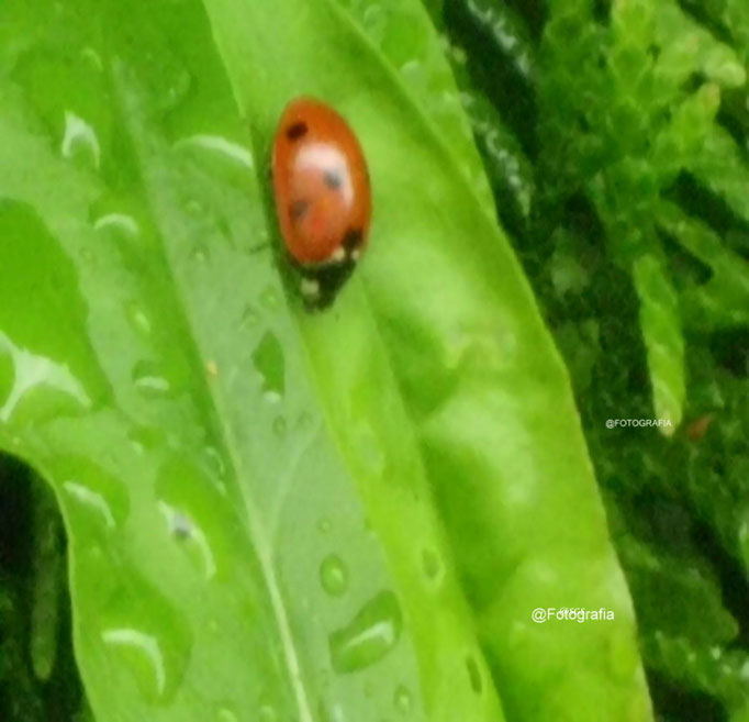Marienkäfer auf Blatt/Aufnahme Garten