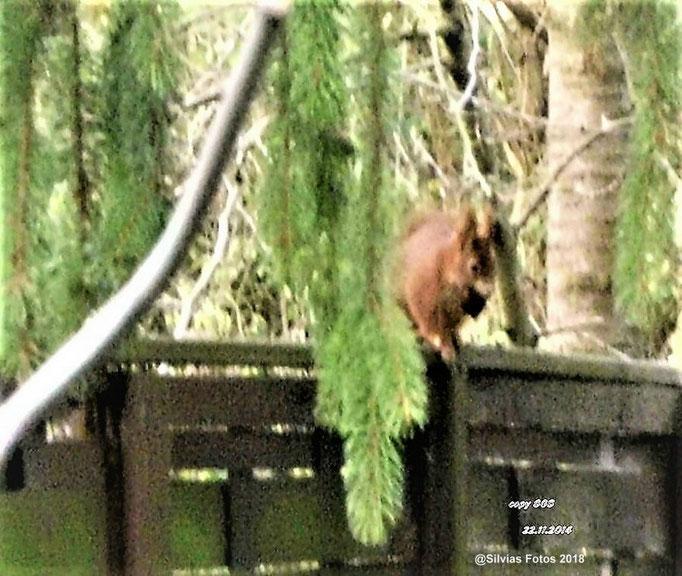 Eichhörnchen mit Walnuss Aufnahme im Garten 2014