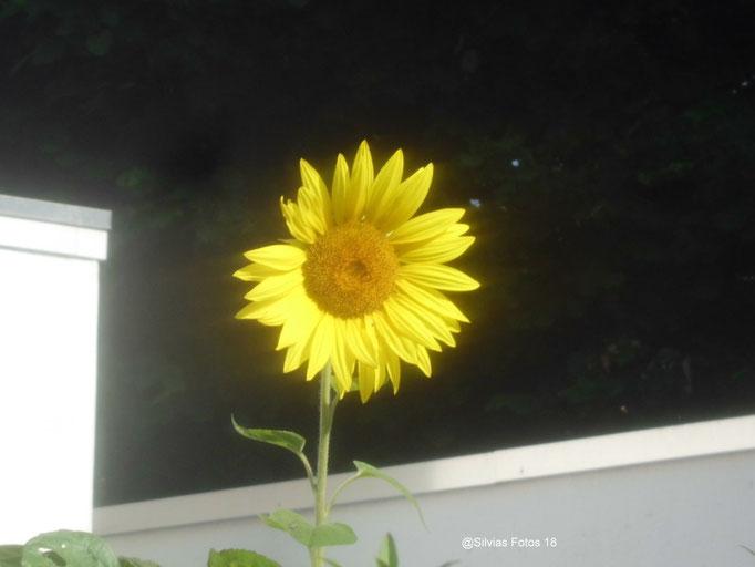 Offene Sonnenblume, Aufnahme unterwegs