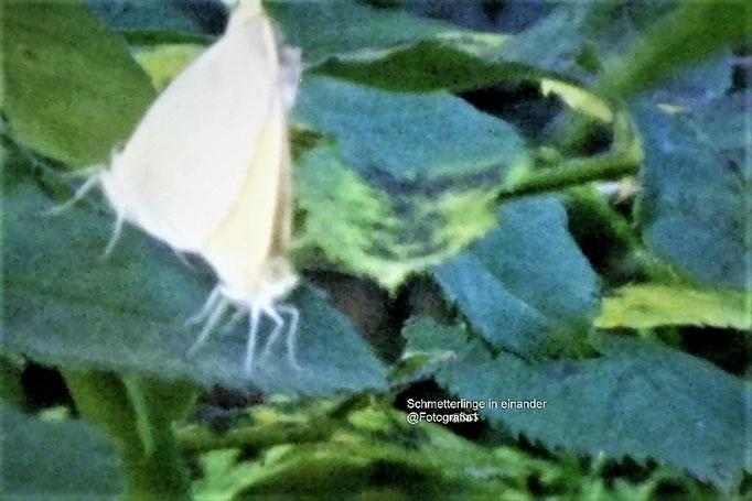 Schmetterlinge ineinander/Aufnahme Garten