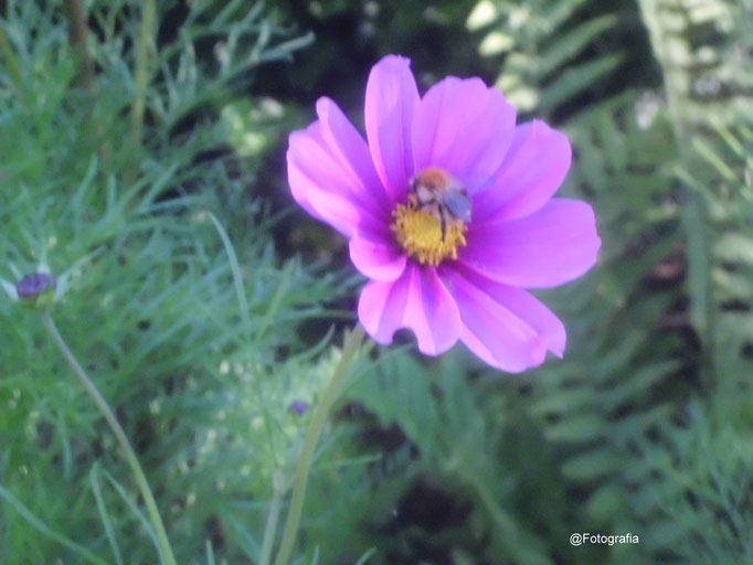 Cosmea /Gartenaufnahme/Blumen&Pflanzen