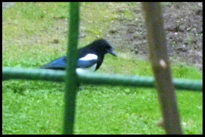 Tiere/Elster/Aufnahme im Garten