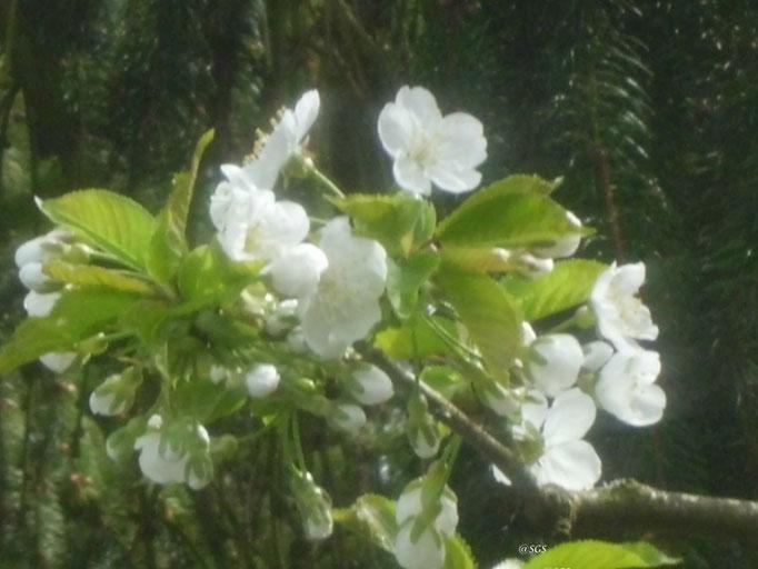 Kirschblüte/gartenaufnahme/Blumen&Pflanzen