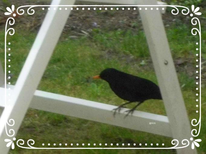 Tiere/Amsel am Gartenstuhl