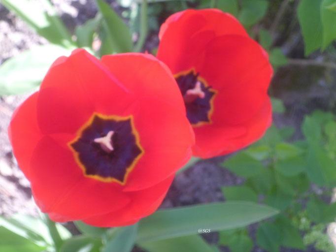 Klatschmohn/Gartenaufnahme/Blumen&Pflanzen
