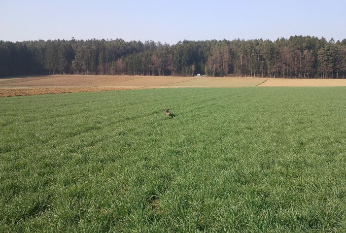 Spurlautübung am Feld mit Zuja