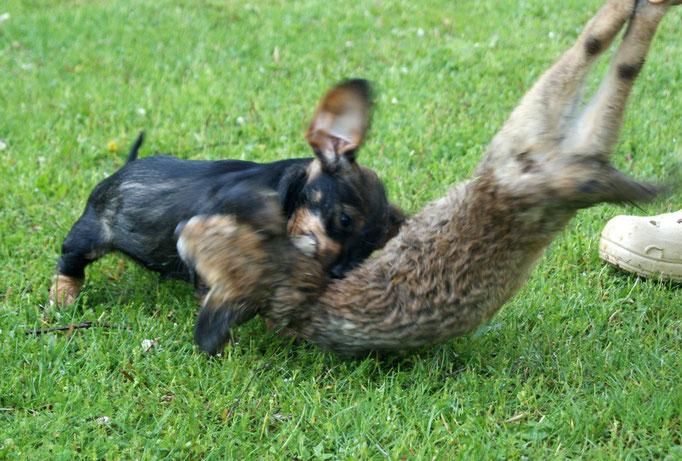 erste Kontakte mit erlegtem Raubwild, hier Zuja mit 11 Wochen am Fuchs