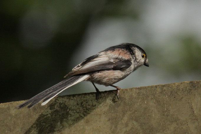 Schwanzmeise (Aegithalos caudatus)