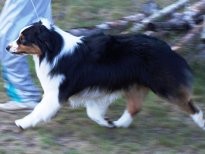 CH.Thornapple Ragtime Move Over - Sire of our 2nd Litter