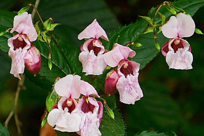Blüten des Asiatischen Springkraut