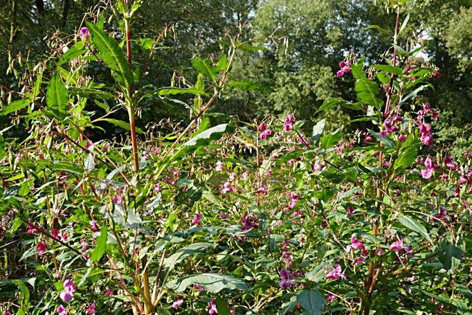 viele Pflanzen des Asiatischen Springkrautes