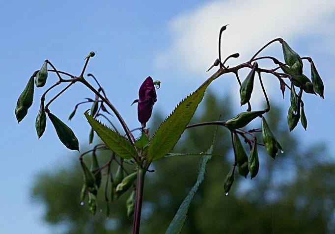 Samenkapseln des Indisches Springkrautes (Impatiens glandulifera)