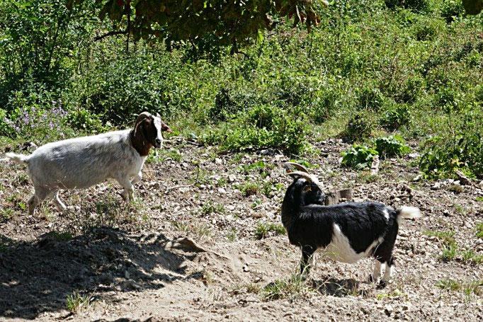Ziegen und Schafe halten die Sicht um die Leuchtenburg frei