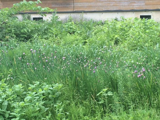 草原のようにたなびくチャイブに薄紫の花穂が可愛い。