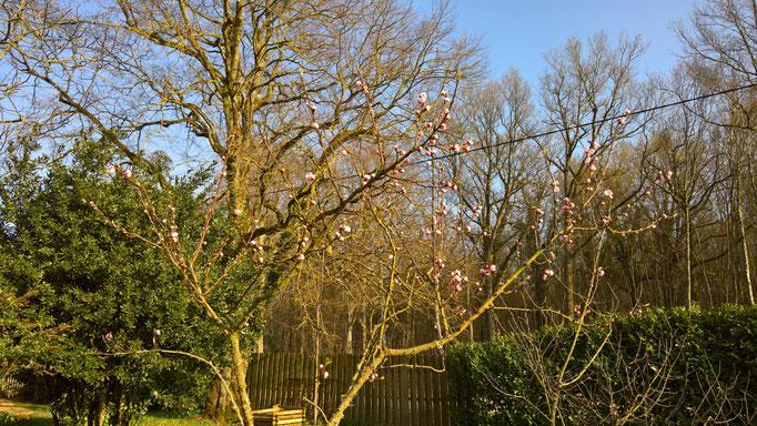 Die ersten Pfirsichblüten