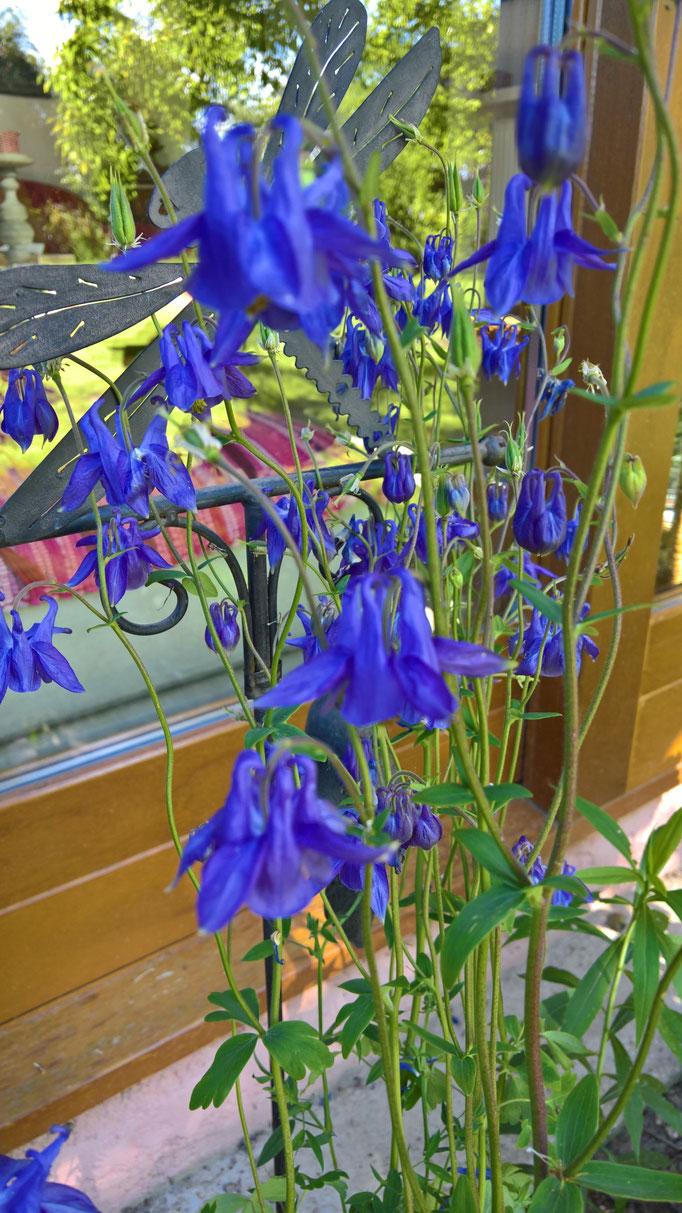 blaue Akelai, am Strassenrand gefunden