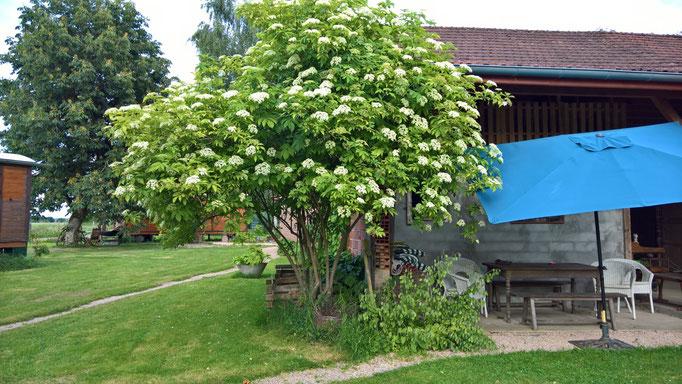 Der Holundbaum gedeiht schön