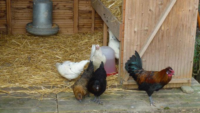Erster Ausgang für die Hühnerschar