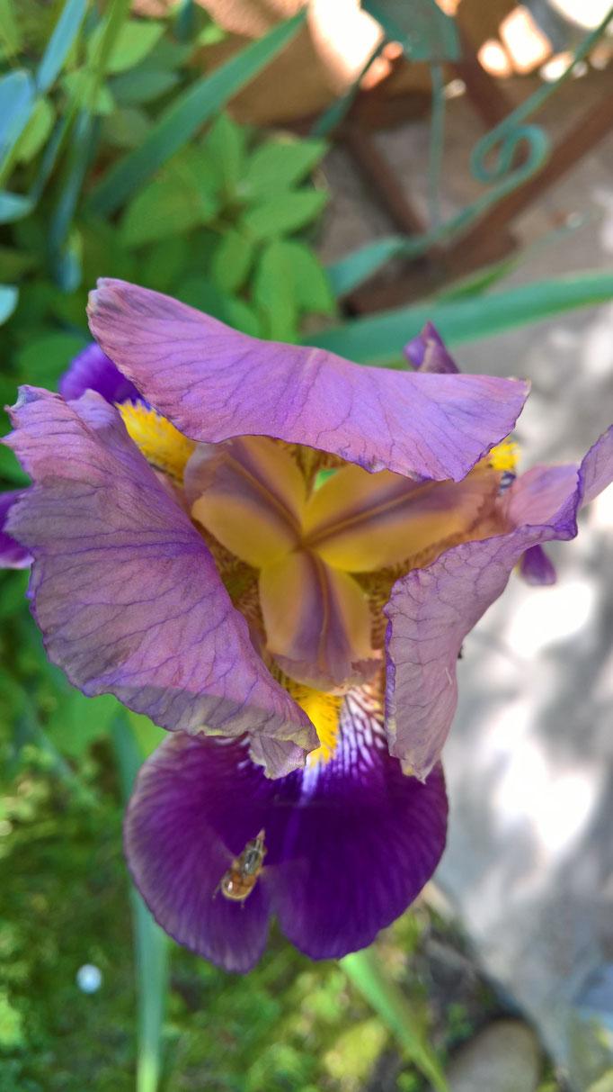 Eine Iris