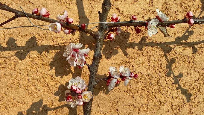 Meine ersten Aprikosenblüten