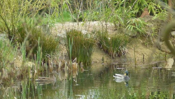 Ein Entenpaar im Teich - aber meist nur des Nachts