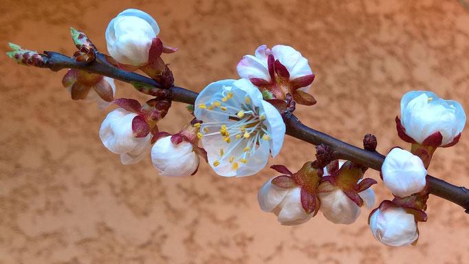 Die Aprikose blüht herrlich schön- hoffentlich, hoffentlich, hoffentlich gibt es viele Früchte!