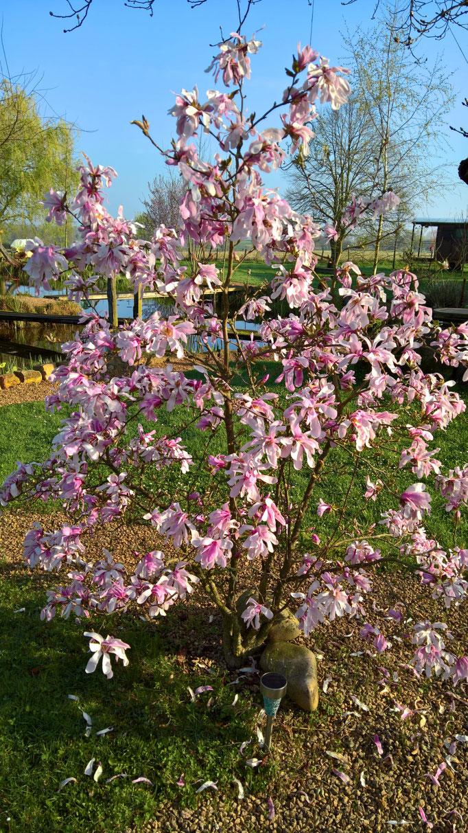 Die Magnolie in voller Blühte