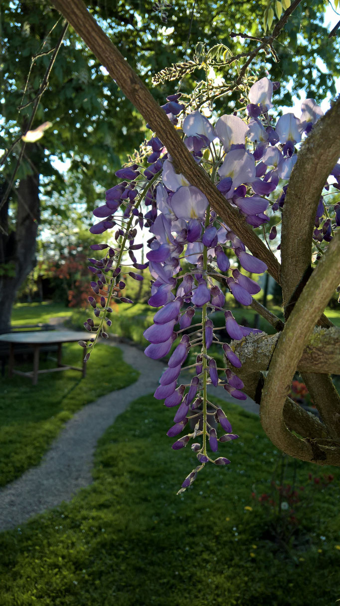 Die Glyzinien blühen wochenlang