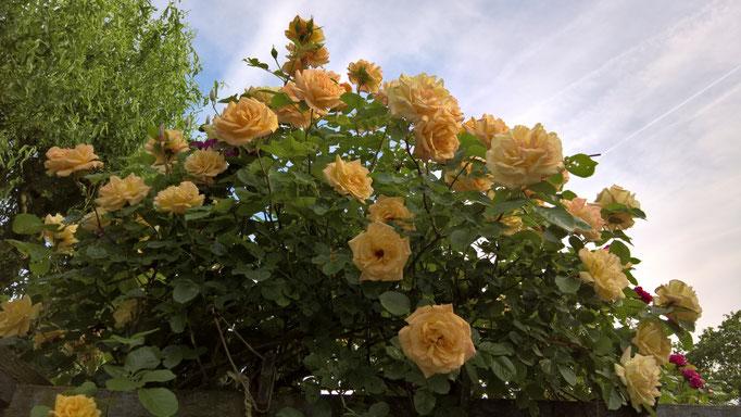 Die Rosen am Rosenbogen so schön wie noch nie