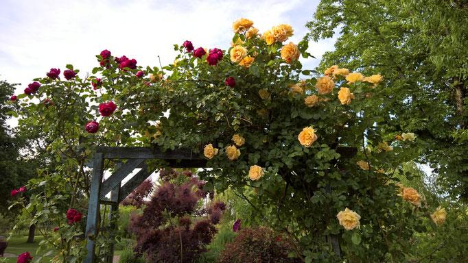 eine gelb-apricot blühende und eine rote Spalierrose