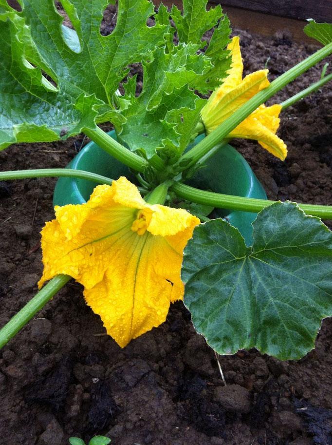 Die Zucchini wachsen schön