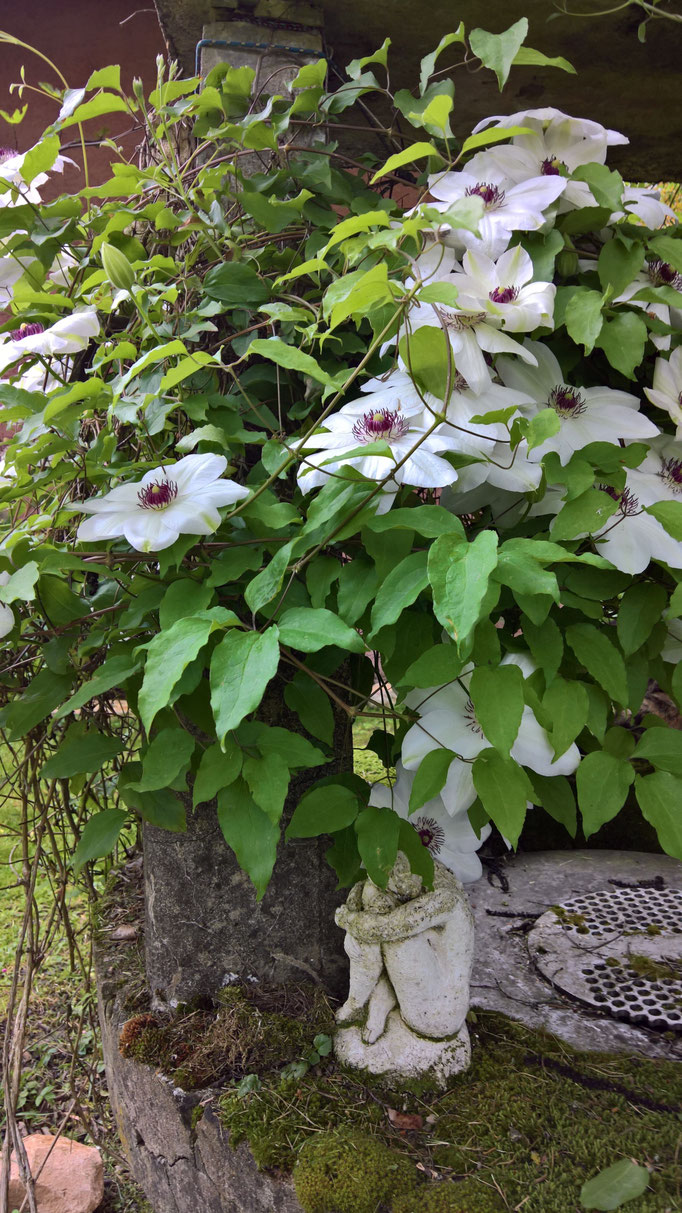 Die weisse Clematis am Ziehbrunnen blüht so schön wie nie zuvor