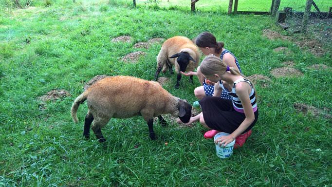 Die Schafe gewöhnen sich schnell an uns